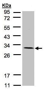 Western blot - NDUFV2 antibody (ab96117)