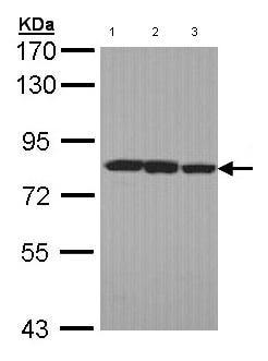 Western blot - LOXL2 antibody (ab96233)