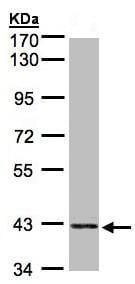 Western blot - PRPSAP2 antibody (ab96278)