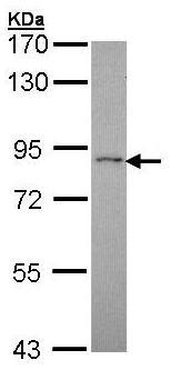 Western blot - RASGRP 4 antibody (ab96293)