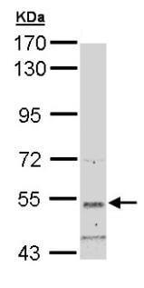 Western blot - SNTB2 antibody (ab96295)