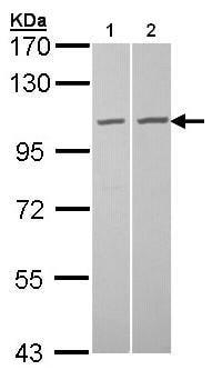 Western blot - TUBGCP2 antibody (ab96342)