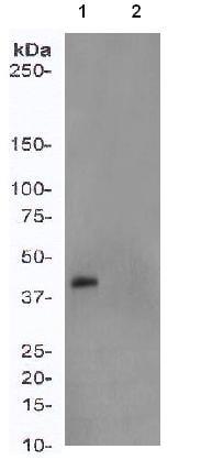 Western blot - MEK1 (phospho S298) antibody [EPR3338] (ab96379)