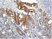 Immunohistochemistry (Formalin/PFA-fixed paraffin-embedded sections) - MEK1 (phospho S298) antibody [EPR3338] (ab96379)
