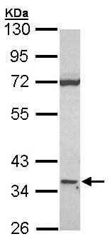 Western blot - CD1d antibody (ab96515)