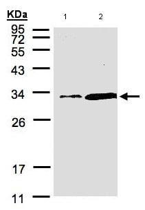 Western blot - PITPN antibody (ab96519)