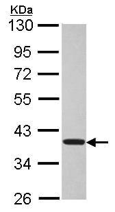 Western blot - TSSC1 antibody (ab96595)