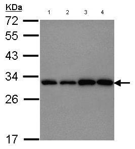 Western blot - PGAM1 antibody (ab96622)