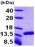 Western blot - DDT protein (ab96820)