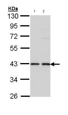 Western blot - E2F1 antibody (ab96864)