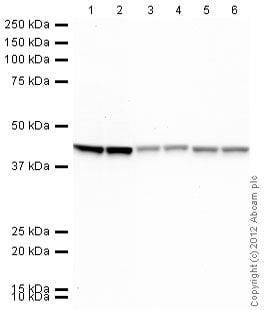 Western blot - Rabbit anti-Mouse IgG H&L (HRP) secondary antibody (ab97046)