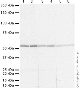 Western blot - Rabbit polyclonal Secondary Antibody to Goat IgG - H&L (AP) (ab97097)