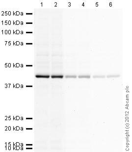 Western blot - Goat anti-Chicken IgY H&L (HRP) secondary antibody (ab97135)