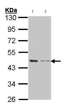 Western blot - beta Actin antibody (ab97376)