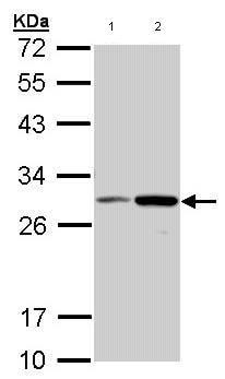 Western blot - NQO1 antibody (ab97385)