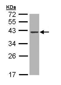 Western blot - DNase I antibody (ab97393)
