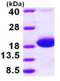 SDS-PAGE - Skp protein (ab97397)