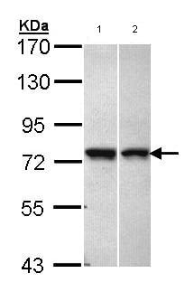 Western blot - C11orf2 antibody (ab97467)