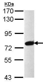 Western blot - PRPF39 antibody (ab97654)