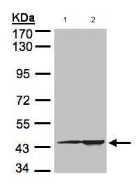 Western blot - CMAS antibody (ab97655)