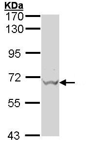 Western blot - GAD67 antibody (ab97739)