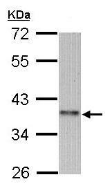 Western blot - CCNI2 antibody (ab97767)