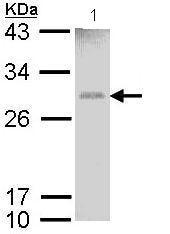 Western blot - Glutathione S Transferase mu antibody (ab97890)