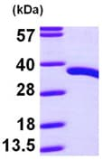 SDS-PAGE - PDXP protein (ab97953)