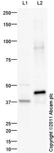 Western blot - Anti-PON1 antibody (ab99037)