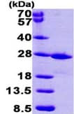 SDS-PAGE - FKBP14 protein (ab99328)
