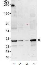 Western blot - ICAD  antibody (ab99374)