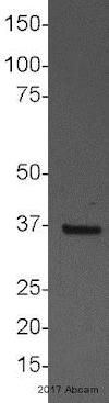 Western blot - Anti-APE1 antibody [13B8E5C2] - ChIP Grade (ab194)
