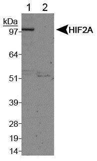 Western blot - Anti-HIF-2-alpha antibody (ab199)