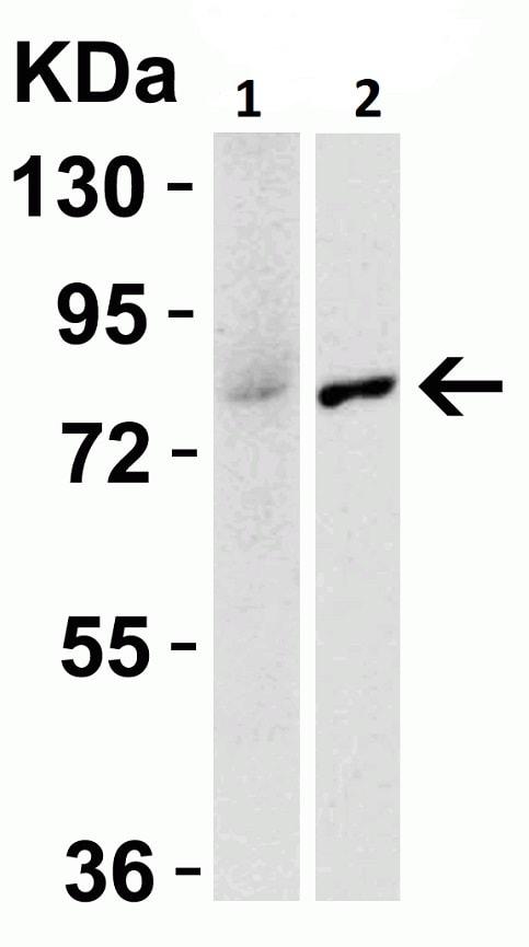 Western blot - Anti-IRAK-1 antibody (ab238)