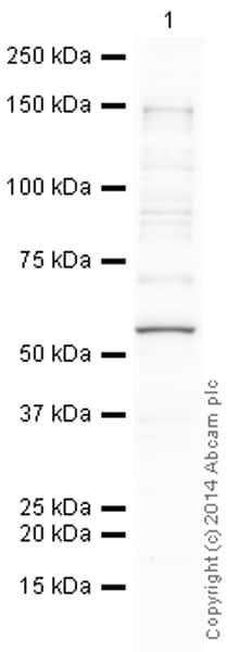 Western blot - Anti-p53 antibody [PAb 240] (ab26)