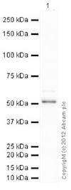 Western blot - Anti-p53 antibody [PAb 1801] (ab28)