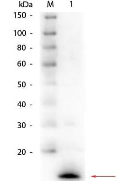 Western blot - Anti-Lysozyme antibody (ab391)