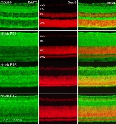 Immunocytochemistry/ Immunofluorescence - Anti-EAAT1 antibody (ab416)