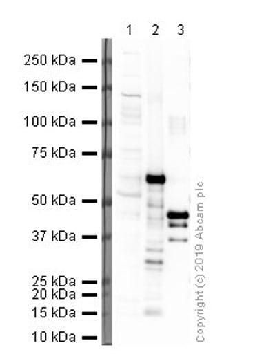 Western blot - Anti-Myc tag antibody [9E11] - ChIP Grade (ab56)