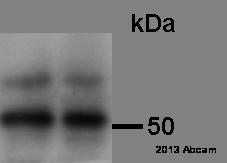 Western blot - Anti-Glucose Transporter GLUT1 antibody (ab652)