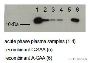 Western blot - Anti-Serum Amyloid A antibody [115] (ab687)