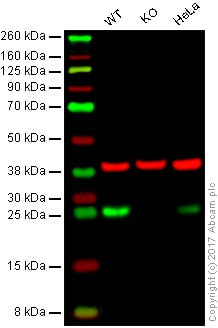 Western blot - Anti-Bcl-2 antibody [100/D5] (ab692)