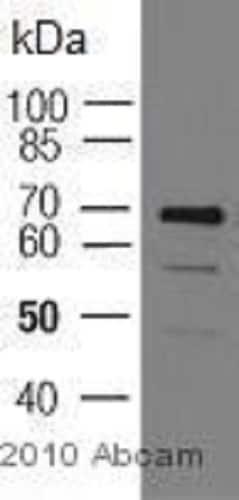 Immunoprecipitation - Anti-COX1 / Cyclooxygenase 1 antibody [5F6/F4] (ab695)