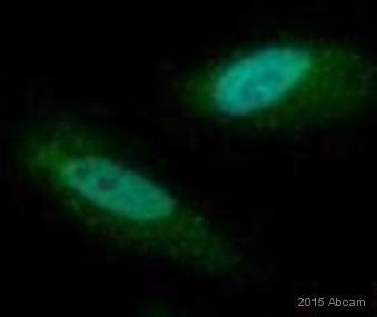 Immunocytochemistry/ Immunofluorescence - Anti-Cyclin B1 antibody [V152] (ab72)