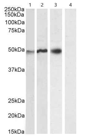 Western blot - Anti-NCF1/p47-phox antibody (ab795)