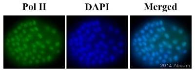 IHC - Wholemount - Anti-RNA polymerase II CTD repeat YSPTSPS antibody [8WG16] - ChIP Grade (ab817)