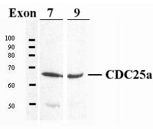 Western blot - Anti-Cdc25A antibody (ab989)