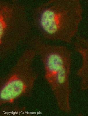 Immunocytochemistry - Anti-Histone H3 (tri methyl K4) antibody [mAbcam1012] - ChIP Grade (ab1012)