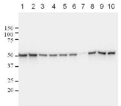 Western blot - Anti-p53 antibody [DO-1] - ChIP Grade (ab1101)