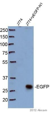 Western blot - Anti-GFP antibody [9F9.F9] (ab1218)